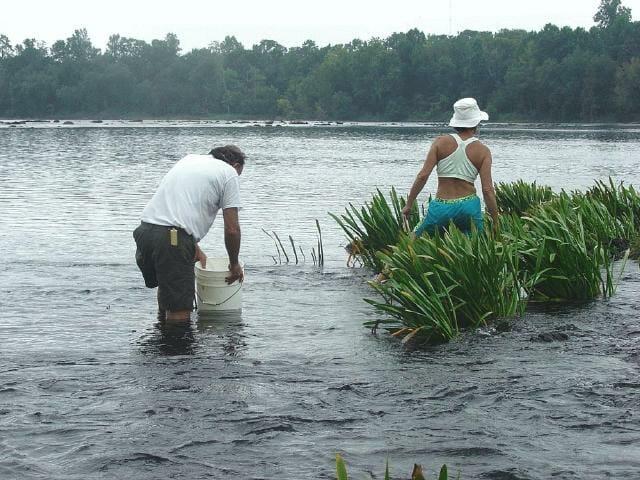 Dr. Wear and a volunteer looking for seedlings in the Savannah River