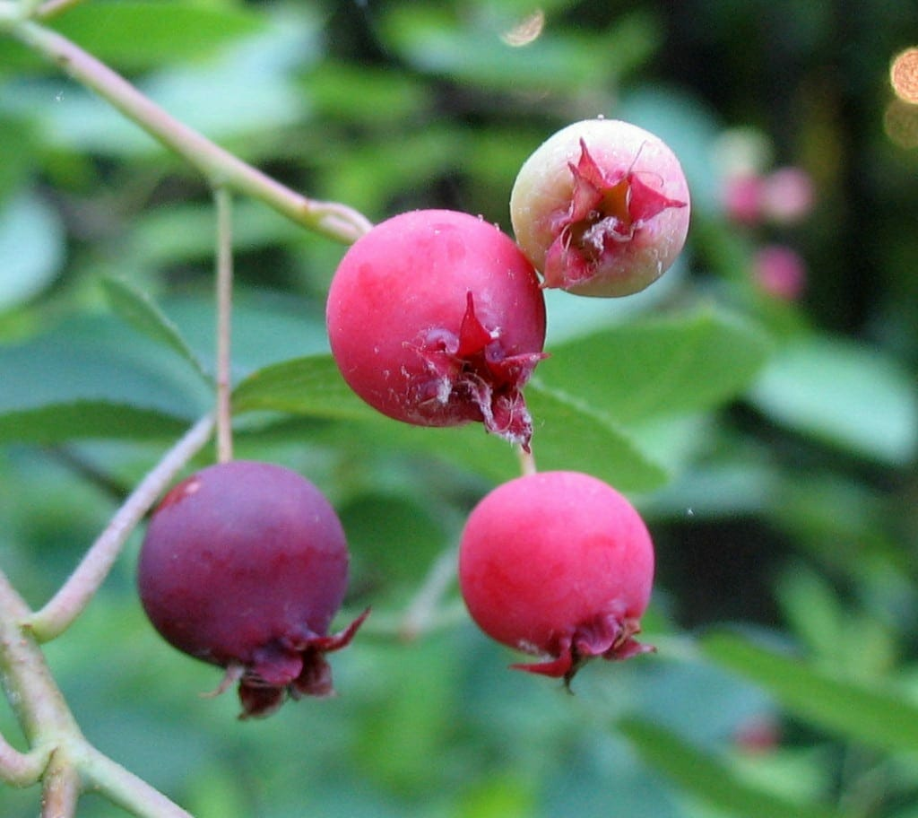 Berry Arbors: Downy Serviceberry (Amelanchier Arborea)