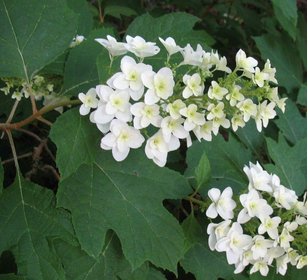 Oakleaf hydrangea hydrangea quercifolia gnps for Hydrangea quercifolia