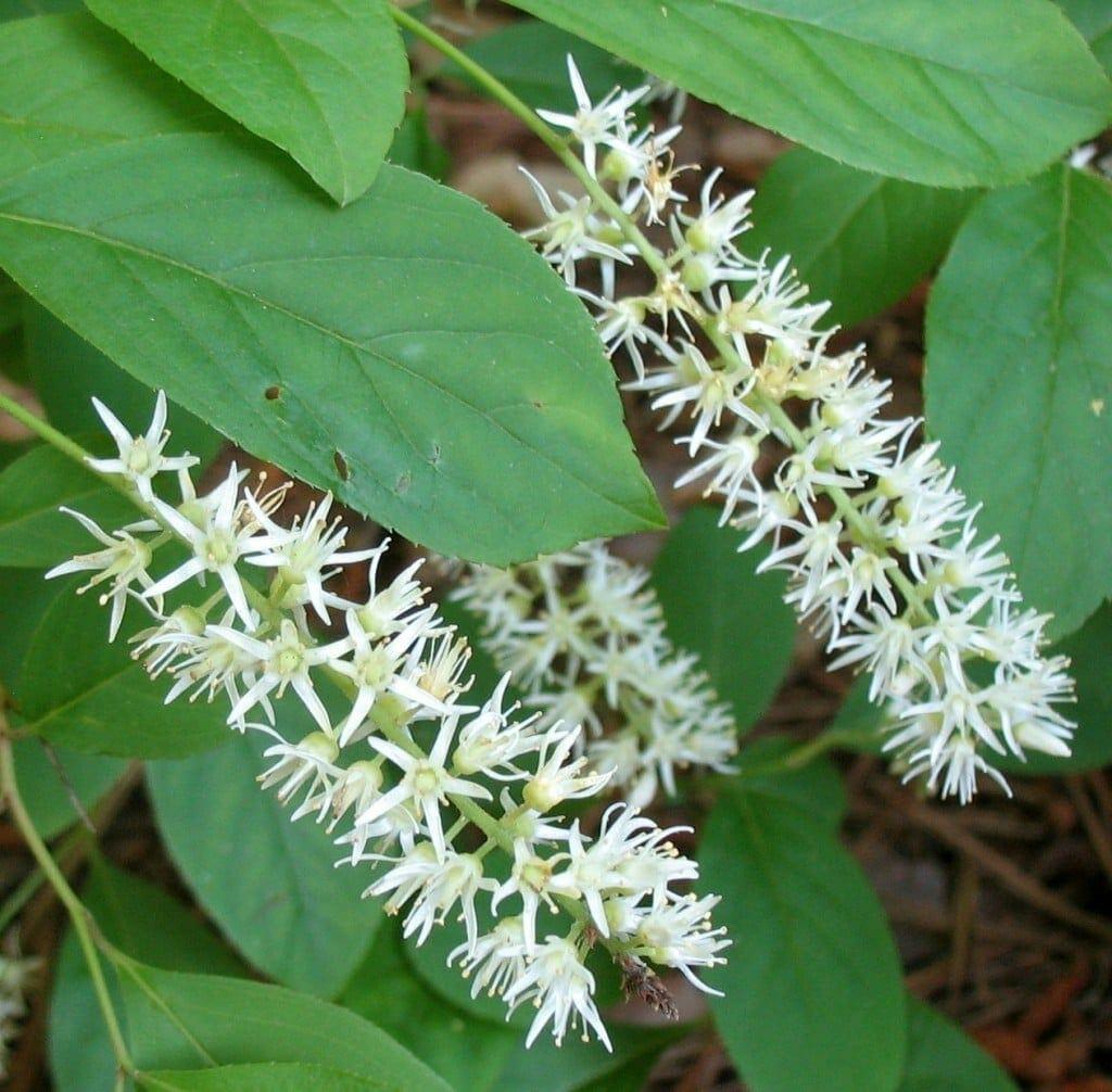 Virginia Sweetspire Itea virginica GNPS