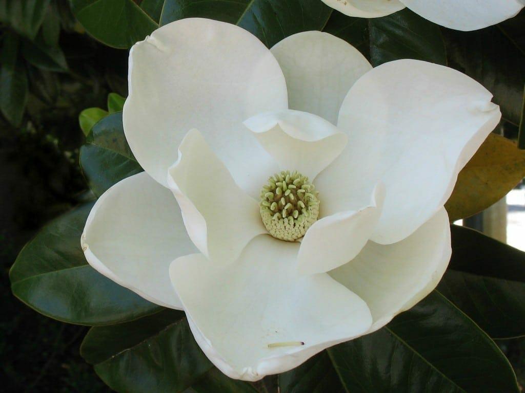 Magnolia grandiflora 05 25 13 gnps - Magnolia grandiflora ...