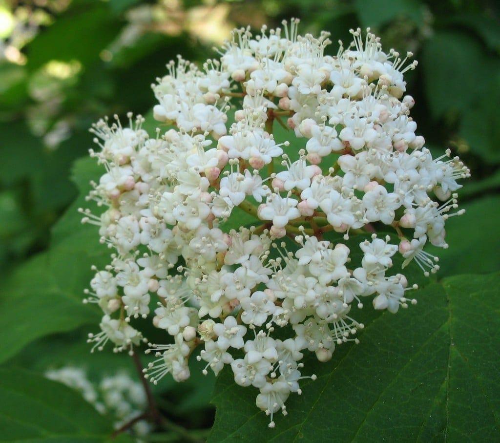 Mapleleaf Viburnum Viburnum Acerifolium Gnps