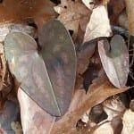 hexastylis arifolia
