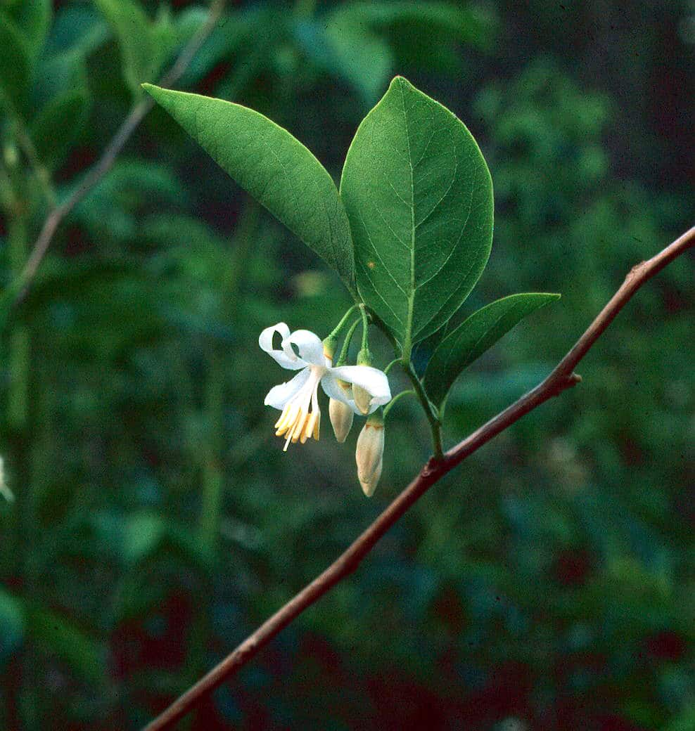 American Snowbell Styrax Americanus Gnps