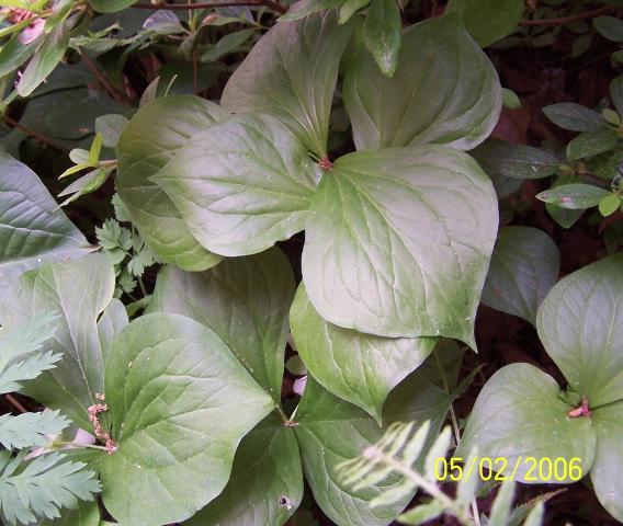 trillium rugelii