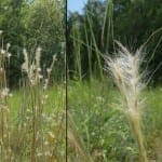 Andropogon ternarius 2012-09-07
