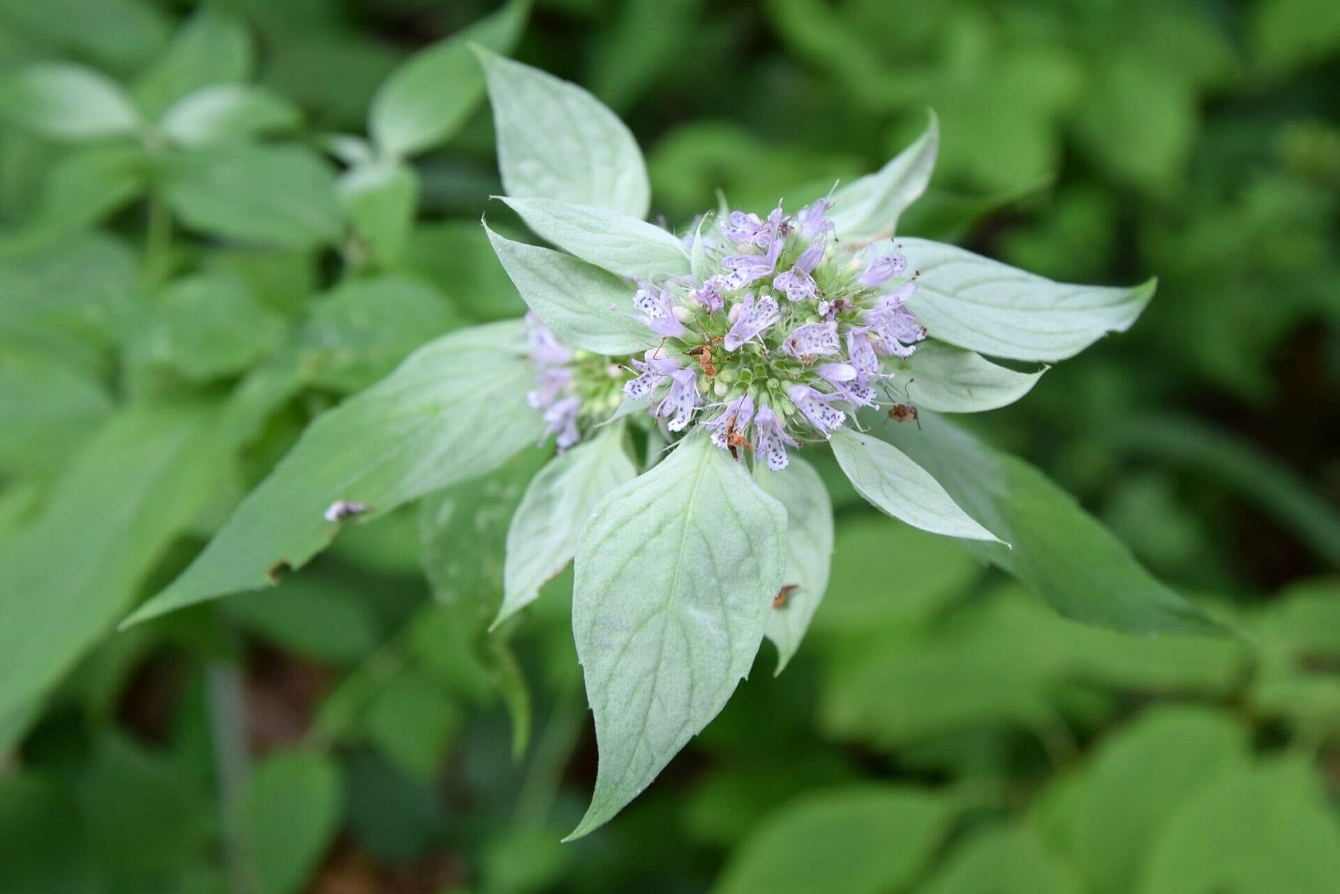 Pycnanthemum pycnanthemoides 113b