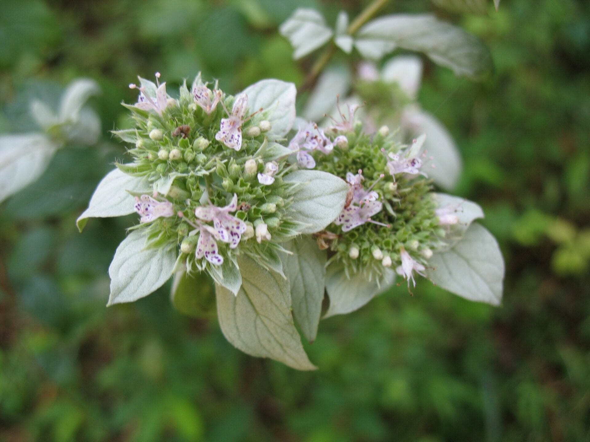pycnanthemum pycnanthemoides 009