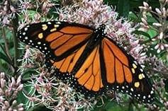 Monarch enjoying the pollen on Joe Pye Weed