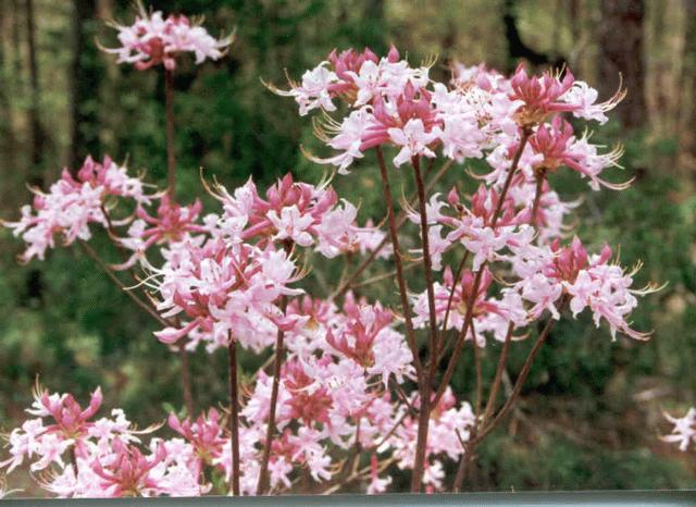 2001_Rhododendron_canescens_03