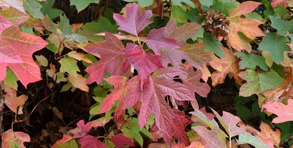 hydrangea quercifolia 010a