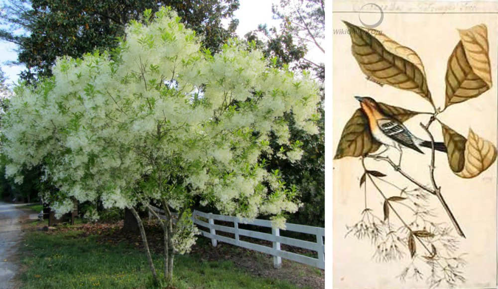 2021 Plant of the Year, Fringetree (Chionanthus virginicus)