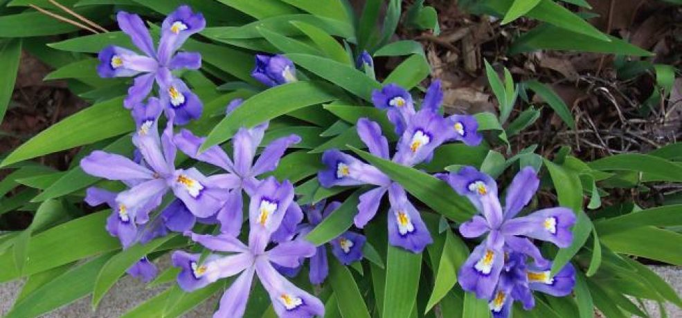 Image result for crested iris plants