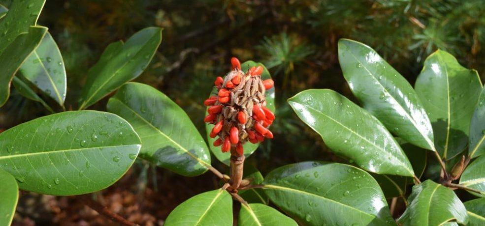Southern Magnolia Magnolia Grandiflora Gnps